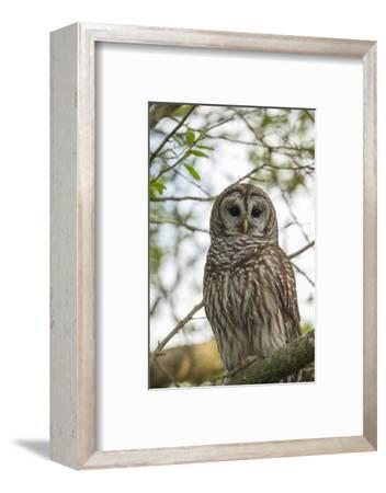 Adult Barred Owl, Strix Varia, in an Oak Tree Hammock, Florida