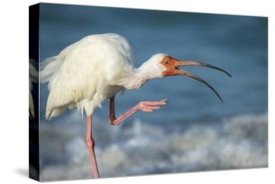 Adult White Ibis Scratching Along Shoreline, Gulf of Mexico, Florida