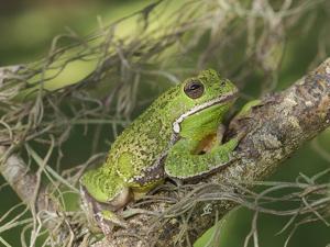 Barking tree frog on branch, Hyla gratiosa, Florida by Maresa Pryor