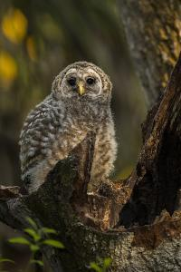 Barred Owl Chick in Nest Cavity in an Oak Tree Hammock, Florida by Maresa Pryor