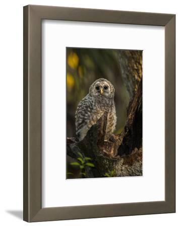 Barred Owl Chick in Nest Cavity in an Oak Tree Hammock, Florida