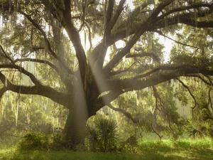 Beautiful Southern Live Oak tree, Flordia by Maresa Pryor