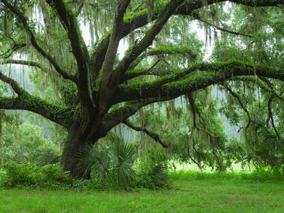 Beautiful Southern Live Oak tree, Flordia