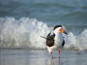 Black Skimmer Bathing Along Shoreline, Gulf of Mexico, Florida by Maresa Pryor