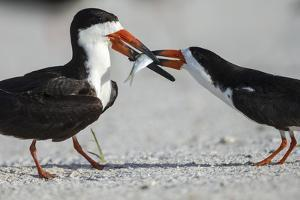 Black Skimmer Protecting Minnow from Others, Gulf of Mexico, Florida by Maresa Pryor