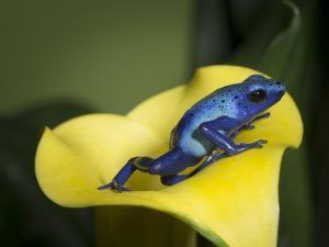 Blue poison dart frog by Maresa Pryor