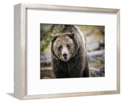 Brown Bear, Grizzly, Ursus Arctos, West Yellowstone, Montana