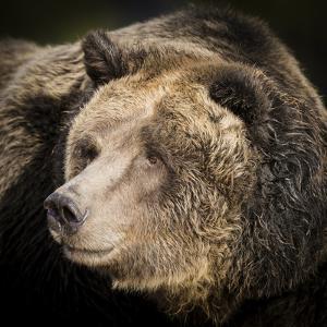 Brown Bear, Grizzly, Ursus Arctos, West Yellowstone, Montana by Maresa Pryor