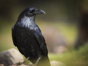 Common Raven, Corvus Corax, West Yellowstone, Montana, Wild by Maresa Pryor