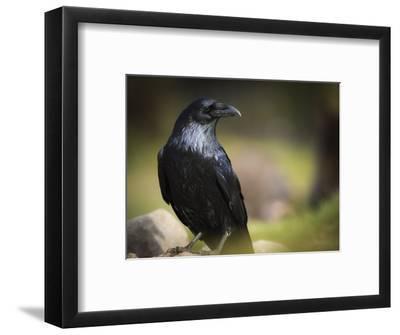 Common Raven, Corvus Corax, West Yellowstone, Montana, Wild