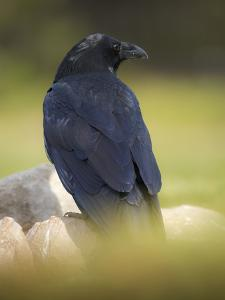 Common Raven, Corvus corax, Yellowstone, Montana by Maresa Pryor