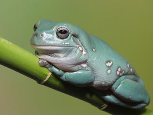 Dumpty tree frog, Australian green tree frog, White's tree frog. by Maresa Pryor
