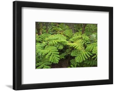 Forest of Tree Ferns, Cibotium Glaucum, Volcano, Hawaii