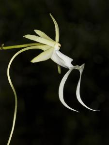 Ghost Orchid in Bloom, Polyrrhiza Lindenii, Florida, USA by Maresa Pryor