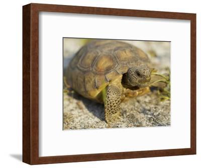 Gopher Tortoise, Gopherus Polyphemus, Wiregrass Community, Central Florida, USA