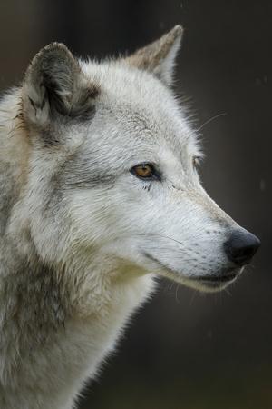 Gray Wolf, Canis lupus, Yellowstone, Montana.