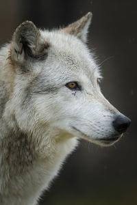Gray Wolf, Canis lupus, Yellowstone, Montana. by Maresa Pryor