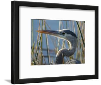 Great Blue Heron, Ardea Herodias, Viera Wetlands, Florida, Usa