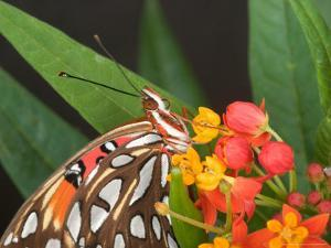 Gulf Fritillary Butterfly on Milkweed Flowers, Florida by Maresa Pryor