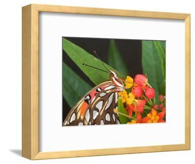 Gulf Fritillary Butterfly on Milkweed Flowers, Florida