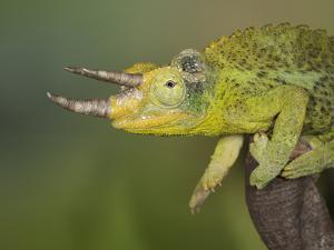 Jackson's Three-horned Chameleon by Maresa Pryor