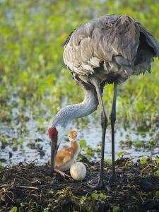 Just Hatched, Sandhill Crane Rotating Second Egg, First Colt, Florida by Maresa Pryor