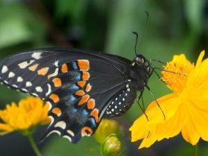 Male Black Swallowtail on Yellow Cosmos, Florida by Maresa Pryor