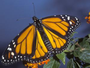 Monarch on Lantana, Florida, Usa by Maresa Pryor