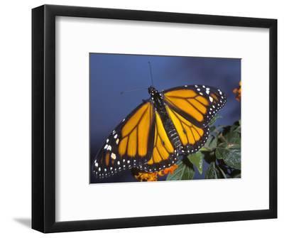 Monarch on Lantana, Florida, Usa