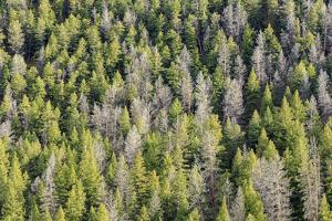 Mountain Pine Beetle Damage, Lodgepole Pines, Pinus Contorta, Colorado Rockies by Maresa Pryor
