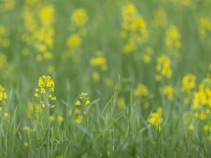 Mustard fields, Ohio. by Maresa Pryor