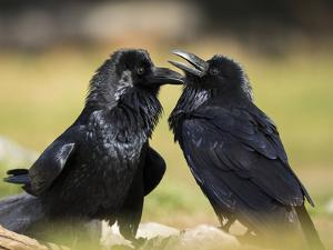 Pair of Common Ravens, Corvus corax, Yellowstone, Montana by Maresa Pryor