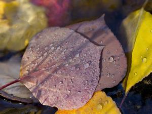 Quaking Aspen Leaves, South Ponil Creek, Baldy Mountain, Rocky Mountains, New Mexico, USA by Maresa Pryor