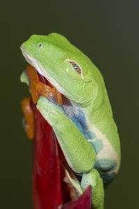 Red-eyed tree frog showing extra eyelid by Maresa Pryor