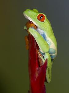 Red-eyed tree frog by Maresa Pryor