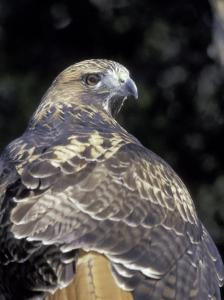 Red-Tailed Hawk Showing Tail Colors, Wildlife West Nature Park, New Mexico, USA by Maresa Pryor