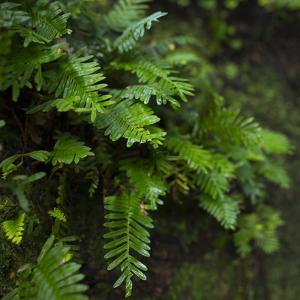 Resurrection Fern, Pleopeltis Polypodioides, Florida by Maresa Pryor