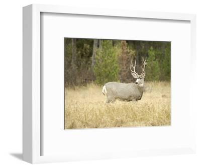 Rocky Mountain Mule Deer Buck on a Rainy Fall Day, Odocoileus Hemionus, Wyoming, Wild