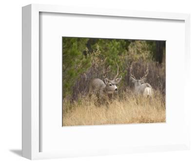 Rocky Mountain Mule Deer Bucks, Odocoileus Hemionus, Wyoming, Wild