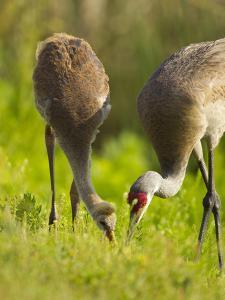 Sandhill Crane Feeding with Chick, Grus Canadensis, Viera Wetlands, Florida, USA by Maresa Pryor