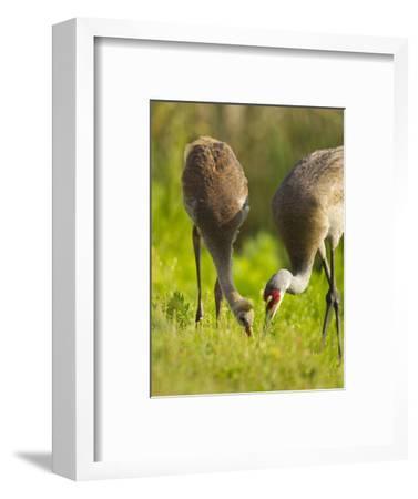 Sandhill Crane Feeding with Chick, Grus Canadensis, Viera Wetlands, Florida, USA