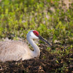 Sandhill Crane on Nest after Sunset, Florida, Wild by Maresa Pryor