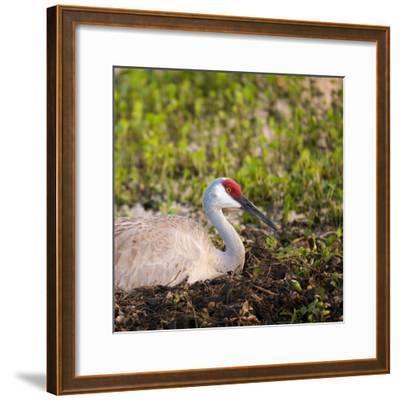 Sandhill Crane on Nest after Sunset, Florida, Wild