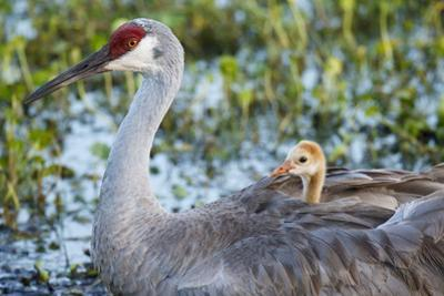 Sandhill Crane on Nest with Baby on Back, Florida by Maresa Pryor