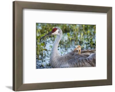 Sandhill Crane on Nest with Baby on Back, Florida