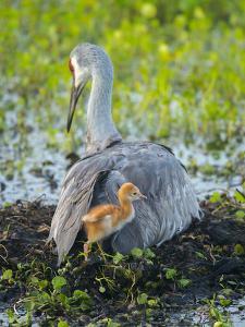 Sandhill Crane on Nest with Colt under Wing, Florida by Maresa Pryor