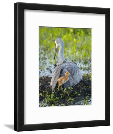 Sandhill Crane on Nest with Colt under Wing, Florida