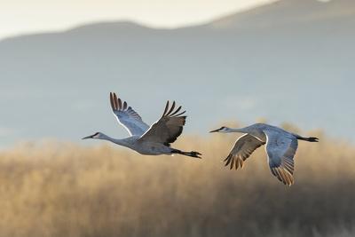Sandhill Cranes Flying, Bosque Del Apache National Wildlife Refuge, New Mexico