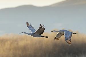 Sandhill Cranes Flying, Bosque Del Apache National Wildlife Refuge, New Mexico by Maresa Pryor