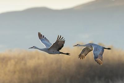 Sandhill Cranes Flying, Bosque Del Apache National Wildlife Refuge, New Mexico by Maresa Pryor